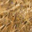 Wheat ears with ripe grains on a field  — Stock Photo #49560043