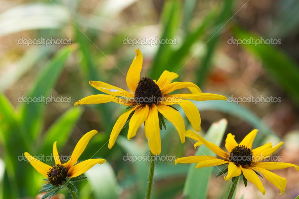 gelbe sommerblumen im garten stockfoto 49975797. Black Bedroom Furniture Sets. Home Design Ideas