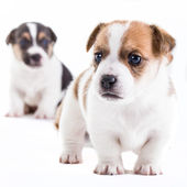 Two brother Jack Russel puppies — Stock Photo