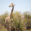 Stock Photo: Alert giraffe in bushveld