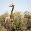 An alert giraffe in the bushveld - Stock Photo