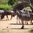 Zebra and wildebeest grazing near a waterhole — 图库照片