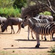 Zebra and wildebeest grazing near a waterhole - Stock Photo