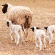 Ewe with three lambs walking away from viewer — Stock Photo