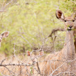 Stock Photo: Young Kudu grazing in the wild