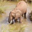 Single African elephant drinking water — Stock Photo