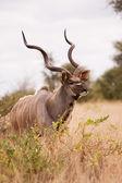 Toro Kudu camminare da soli in natura — Foto Stock