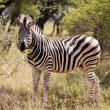 Stock Photo: Lone zebrstanding in Africbush