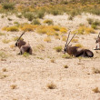 Постер, плакат: Three Gemsbok antelope resting in the Kalahari