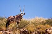 One single Gemsbok grazing on a dune in the Kalahari — Stock Photo