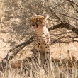 Stock Photo: Cheetah sitting underneath shrub in Kalahari