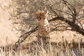Cheetah sitting underneath shrub in Kalahari — Stock Photo