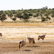 Постер, плакат: Four Gemsbuck grazing in the Kalahari