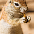 Stock Photo: Watchful ground squirrel eating