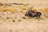 Two Oryx lying down in the Kgalagadi desert — Stock Photo
