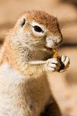 Watchful ground squirrel eating — Stockfoto