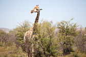 An alert giraffe in the bushveld — Stock Photo