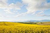 Campos de canola amarelo com vista para um vale — Fotografia Stock