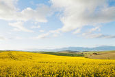 Yellow canola fields overlooking a valley — Zdjęcie stockowe