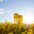 yellow canola flowers and setting sun in background — Stock Photo
