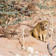 Watchful Southern African weasel — Stock Photo