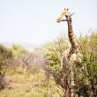 Stock Photo: Single giraffe standing between shrubs