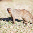 Banded mongoose in nature reserve in South Africa — Stock Photo
