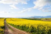 Farm dirt road between yellow canola flower fields — Stock Photo