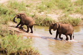 Two African elephants wading through a river — Stock Photo