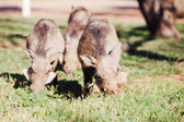 Three warthogs grazing in the wild — Stock Photo