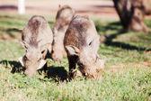 Three warthogs grazing in the wild — Foto de Stock