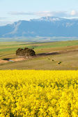 Snow capped mountain range overlooking yellow canola fields — Stock Photo