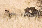 Cheetahs resting in the shadows after eating — 图库照片