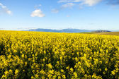Fields of yellow canola flowers — Stock Photo
