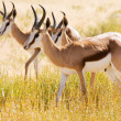 Постер, плакат: Three young Springbok in the Kalahari desert