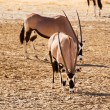 Постер, плакат: Three Gemsbok in the Kalahari desert