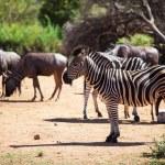 cebras y ñus pastando cerca de un pozo de agua — Foto de Stock   #39329481