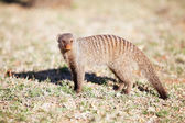 Alert banded mongoose in the wild — Stock Photo