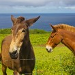 Hawaiian Mules, Big Island, Hawaii — Stock Photo