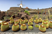 View of cactus garden, jardin de cactus in Guatiza, Lanzarote, Canary Islands — Stock Photo