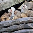 Monkey family sleeping on stone wall - Stock Photo