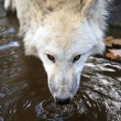 White wolf drinking water - Stock Photo