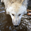 Stock Photo: White wolf drinking water
