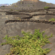 Vineyards in La Geria region, Lanzarote, Canary Islands — Stock Photo