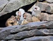 Monkey family sleeping on stone wall — Stock Photo