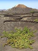 Vineyards in La Geria region, Lanzarote, Canary Islands — Stock Photo