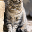 Domestic cat close to a wall, Felis silvestris catus, France - Stock Photo