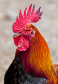 Cocky red rooster — Stock Photo