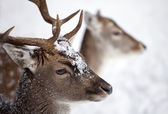 Young male white Tailed Deer in the forest in winter — Stock Photo