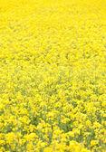 Bourgogne spring landscape, rapeseed fields in full bloom, France — Stock Photo